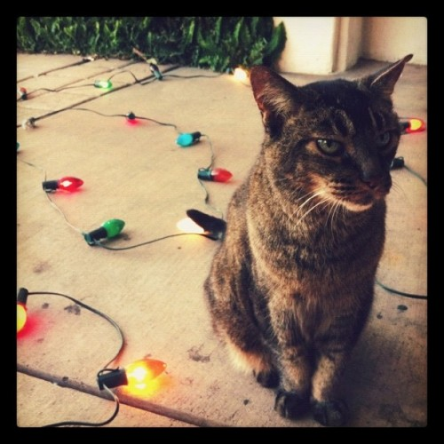 Marmaduke wants to help with the Christmas lights! (Taken with instagram)