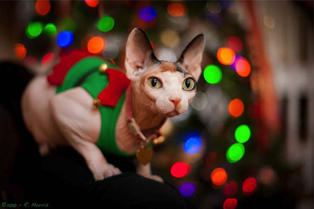 fuckyeahhairlesscats:  (via Beauty in Everything - Photography)  MERRY CHRISTMAS
