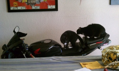 get off of there cat. you are not road hogs. you would be terrible motorcyclists. you don't even have helmets.