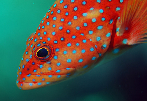 fuckyeahaquaria:Coral Grouper (by Fish.Eye) Coral trout (see this previous post)