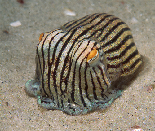 "This charming little sir is known as a Striped Pyjama Squid—though he seems to be more closely related to cuttlefish than the long-bodied squid most of us are used to seeing. If you look closely at him (not just in this image—which happens to not belong to me, by the way), you'll see that he lacks the really distinctly ""W"" shaped pupils in his eyes, and in motion the lateral frill which assists in his swimming doesn't seem to be uniformly shaped from the anterior to the posterior.  Rather it seems to flare on the posterior end—bringing to mind the cephalic fins of the common squid types.   Also—I don't know if the Pyjama squid has the same ability as his cuttlefish cousins to closely mimic his environment.  Are those specialized skin cells native to these little fellows? In the end, though, they're all cephalopods (wonderful, amazing cephalopods!)."