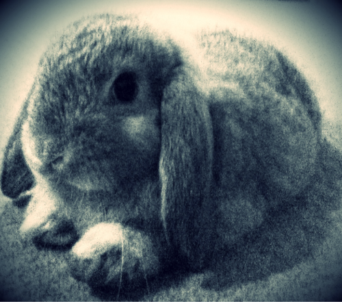 Our chinchilla dwarf lop eared bunnie.  Her name is Dardy. She is cheeky, stubborn and loves a massage behind her ears.  Her favorite food is apple and lawn.  She loves to do gymnastics in the lounge room or follow us around the house. Otherwise she can often be found snoozing on the carpet in the centre of the room.