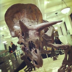 michellectv:  Triceratops #dinosaur @amnh #history #science #manhattan #uws #nyc (Taken with Instagram at World's Largest Dinosaur Exhibit - AMNH)