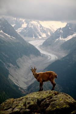 snow animals mountains nature travel summit ibex baby ibex mer de glace