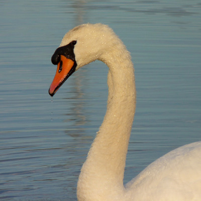dendroica:  Mute Swan on Flickr.