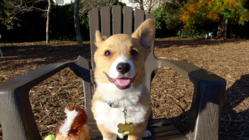elleandcorgi:  Chubby at the dog park for the first time. He was super excited at first but one of the bigger dogs kept following him around trying to sit on him so he got scared and ended up sitting on my lap for the rest of the afternoon watching the big dogs play. I don't know what happened to his left ear in this picture.