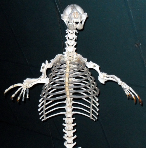 tintenfischie:  The Point Defiance Zoo decided to hang a seal skeleton from the ceiling. Right by the seal exhibit. So they can gaze upon the dead of their own kind. There's something a little twisted about that.  Oh, THEY know very well what they did to deserve that…..