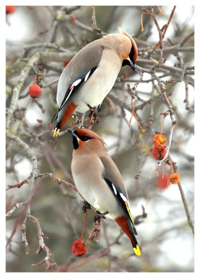 I love waxwings! (via things with wings / Waxwings)
