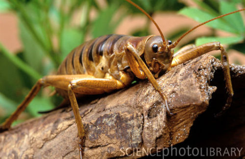 animalworld:  GIANT WETA - by requestDeinacrida heteracantha© Louise Murray/Science Photo Library There are about 70 species of weta, they are large brown wingless insect (family Stenopelmatidae) related to the grasshoppers. This species of  weta, also known as the  Wetapunga from the Maori language, is native to  New Zealand. Adults can measure up to 4 inches/10cm long without including the  antenna and legs, and pregnant females can weigh over 2.5 ounces/70 grams, making  them the heaviest insects in the world. Giant weta are flightless and  have survived on New Zealand since prehistoric times due to the absence  of land mammals. The introduction of rats, cats, stoats and other  mammals onto New Zealand have reduced the Giant weta populations to  Little Barrier Island. The Giant weta is too heavy to jump but when  threatened, raise their spiny hind limbs into the air. These nocturnal  insects feed on plants and fungi. Fact & Photo: http://www.sciencephoto.com/media/368584/enlarge Video: http://www.youtube.com/watch?feature=player_embedded&v=kUFjtgAPF5U Other posts: Chan's Megastick Titan Beetle Goliath Beetle