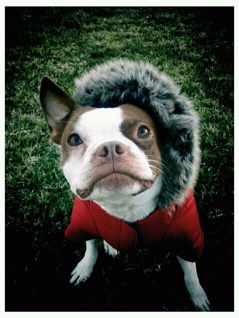 fuckyeahbostonterriers:  More Maple in her parka <3