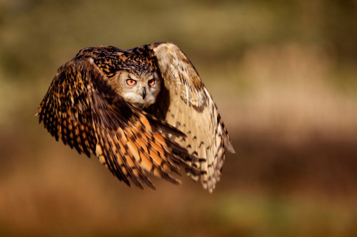 theanimalblog:  flight of an eagle owl | by Mark Bridger  Oh I LOVE him.