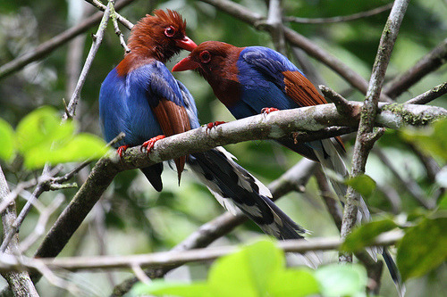 fairy-wren:  sri lanka blue magpies