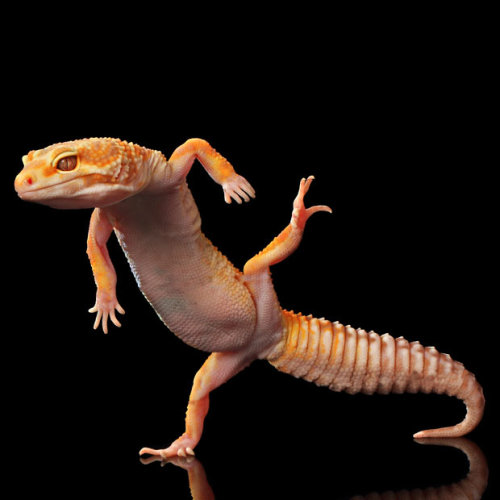 brooklynmutt:  Amazing dancing geckos in Indonesia photographed by Shikhei Goh - Telegraph
