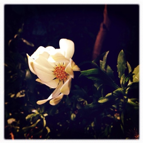 Una flor en martes decembrino. #iphoneography #iphonephotography #instagram #instagood #instamood #instadaily #instalovely #instagramhub #igers #igersmx #igersmexico #iglovers #ignation #mexigers #mextagram #nature #knowingtheworldthroughnature #flower #flowers #color #hipstamatic #december  (Taken with instagram)