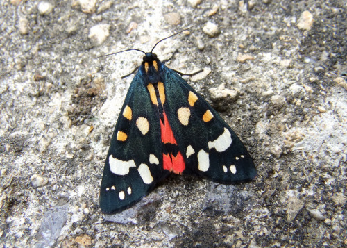 Scarlet Tiger Moth (Callimorpha dominula), Melksham, England, UK * This is a diurnal moth. The caterpillars feed mostly on comfrey (Symphytum officinale). (photo: Paul Gulliver)