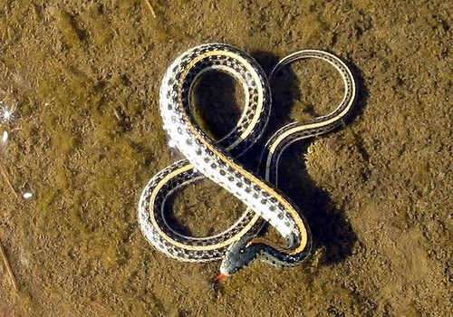 nevver:  A snake is not an amphibian, it's an ampersand    I don't like snakes. But this is pretty typography.