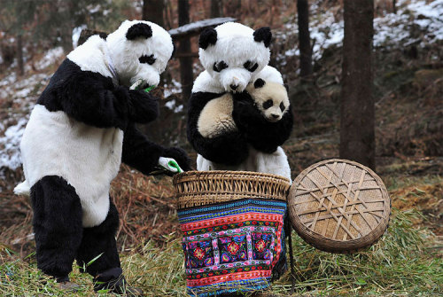 Researchers dressed in panda costumes put a panda cub into a basket before transferring it to a new living environment at the Hetaoping Research and Conservation Center for the Giant Panda in Wolong National Nature Reserve, Sichuan province February 20, 2011. The 6-month-old cub is being transferred to a bigger living environment with a higher altitude and a more complicated terrain, which marks the beginning of the second phase of its training to reintroduce it to the wild. Researchers wear panda costumes to ensure that the cub's environment is devoid of human influence. (REUTERS/China Daily) (via)