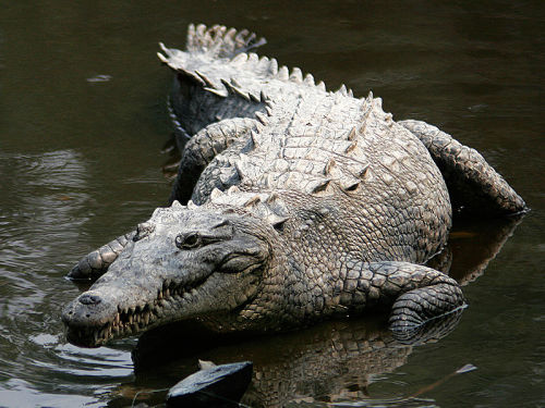 Endangered crocodile finds new life at nuclear power plant