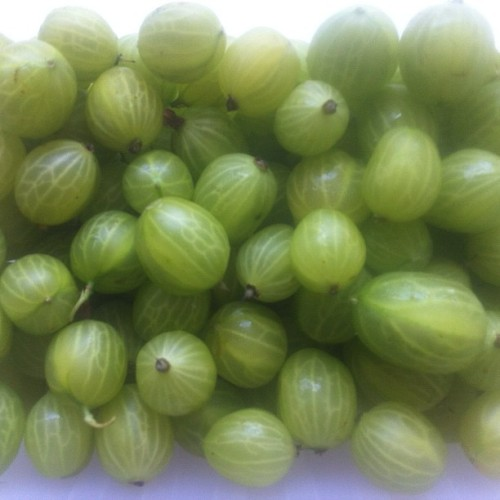 8kgs of freshly picked gooseberries, 5kg for @messytable, 1 for @fitzroypainting and the rest for the fool. (Taken with instagram)