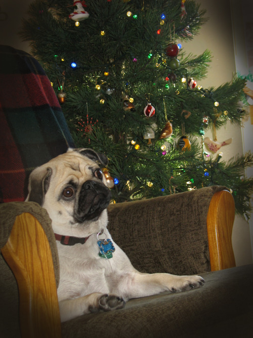 Puggie isn't sure what all this Christmas fuss is about! (submitted by Madeline!)