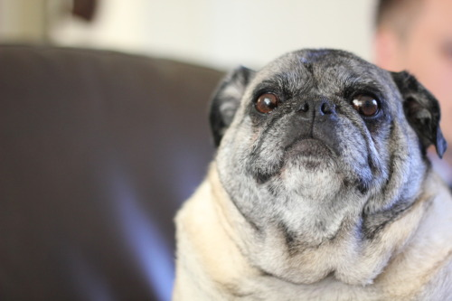 mugsofpugs:  Noah the pug. This is his serious face. submitted by ohhmai