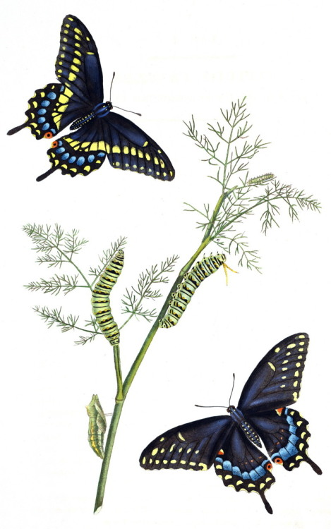 "Black Swallowtail (Papilio polyxenes) on hostplant (Anethum sp. or Daucus sp.) Though the exact colors and markings vary between subspecies (and even within subspecies), you can see the sexual dimorphism (phenotypic differences) between the male and the female black swallowtail here. [ETA: The female is the lower right, the male is top left] In many butterfly species, the female is polymorphic, and can have multiple phenotypes, some even being identical to the male phenotype. What is shown here is considered the ""type"" (standard) for the black swallowtail species, but nearly half of the females are phenotypically different from this form. However, even when the female looks exactly the same as the male to the human eye, they maintain a distinct pattern of UV markings, that are easily visible to other butterflies. The Natural History of the Rarer Lepidopterous Insects of Georgia, vol. 1. Sir James Edward Smith, Illustrated by John Abbot, 1797."