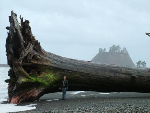 lickypickystickyfree:  That's driftwood. Bigger than a single-story house. It washed ashore near Washington state's Olympic National Park, where this  photo was taken. The tree most likely fell into a river after flooding  and floated out to sea. High tides and strong wind then pushed it back  on shore.