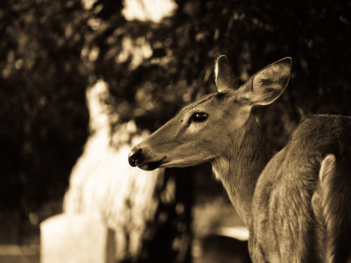 dreamofthedragon:  This doe took to raising her little ones in a local cemetery.
