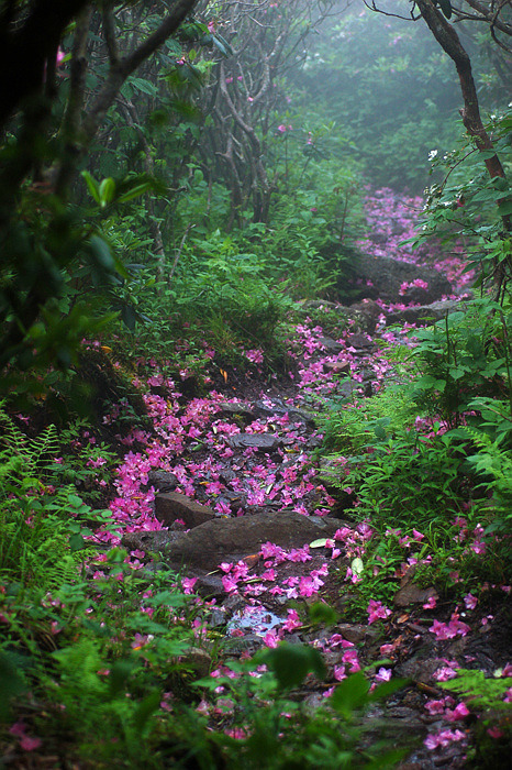 rhododendron laden path by David Mosner on Flickr