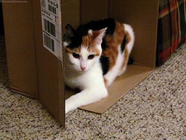 nevermindthecamera:  Kitty in a box!  ♥