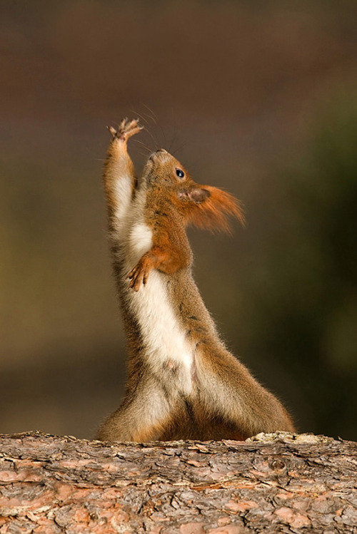 "Squirrel yoga. This position is called ""Calling Acorns Downward!"" (Yes I know, I'm awful :P)"