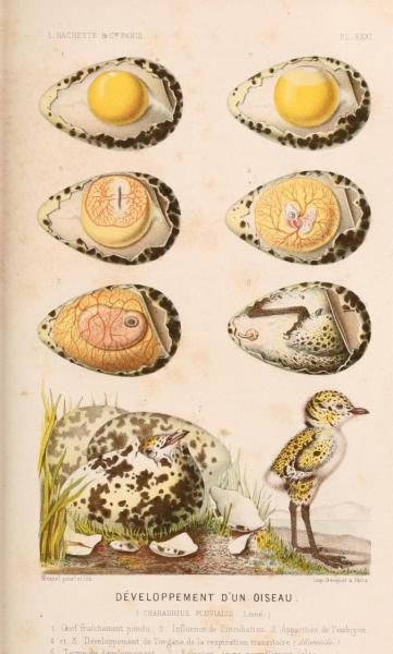 Development of Charadrius pluvialis [now dominicus] from laying to hatching The development of the American Golden Plover is typical of many sea birds and waders. As migratory birds, golden plovers arrive at their northern nesting grounds in the mid-spring, and lay 4-5 eggs shortly after arriving. Both parents are highly protective of the nest and chicks, which are born precocious (they can already see, walk, and find food at birth) after about 25 days of incubation. Though able to find their own food at birth, the parents protect the well-camouflaged young for the first 30 days, until they're able to fly (fledgelings). By mid-August, most plovers and lapwings have begun to head south to their wintering grounds. La Monde de la Mer. Alfred Fredol, 1866.