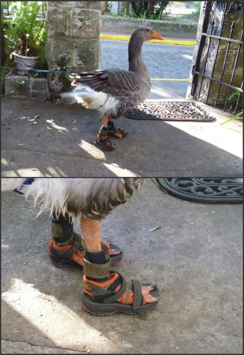 conflictingheart:  this goose gets extra points for no socks