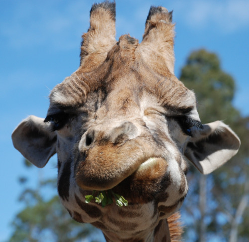 neiture:  Giraffe at Orana Wildlife Park, Christchurch, New Zealand | image by geoftheref