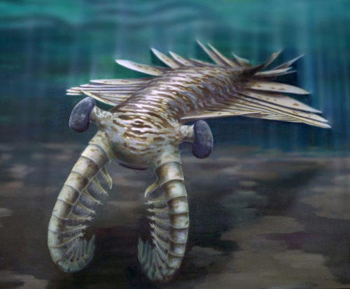 geologise:   16,000 Eyes: The Vision of a Cambrian Superpredator.→ By John Timmer, Ars Technica  Those of you who get a bit weirded out by spiders and other arthropods would probably have a coronary if an Anomalocaris were to swim in your direction. The animals were about a meter long, and shaped as a flattened oval, a bit like a modern flounder. That's about the only similarity with a fish, though. Instead of fins, the Anomalocarids propelled themselves through the water using a series of elongated paddle-like structures running down both edges of the body. In front, a pair of appendages could shovel prey into a circular mouth located on its underside. And then there were the large, bulging eyes, springing from each side of the animal's head. Until now, we could only guess at what the eyes looked like, but some spectacular, 515-million-year-old fossils from Australia have now shown that they had a huge number of small lenses, arranged much like those in modern insects and other arthropods. The finding suggests that the compound eyes evolved right at the origin of this branch of the evolutionary tree, long before the sorts of hard exoskeletons we now consider typical of arthropods. First, the fossils themselves, which are absolutely spectacular. We've discovered a number of different Anomalocarid species in fossil deposits around the globe but, at best, these simply left behind an impression of the eyes. So, we knew they were roughly pear-shaped and where they appeared on the animal, but nothing about their internal structure. The eyes found in the new fossils clearly show details of the internal structure. They aren't actually attached to an Anomalocaris, but they match the impressions previously found with them, and we've not found anything else in these fossil beds big enough to support an eye of this size. It takes a microscope to see them, but individual lenses were preserved in each eye. For someone who has seen countless images of the compound eyes of Drosophila, they are startling in how modern they look. Based on their density, the authors estimate that each eye housed 16,000 individual lenses, the most that have ever been seen on any animal we know about. Based on the curve of the eye and what we know about modern compound eyes, they suggest that the animal had very good visual acuity. (Above) The fossilized remains of 515 million year old eyes. (John Paterson)  Read the full article at WIRED   Cool!