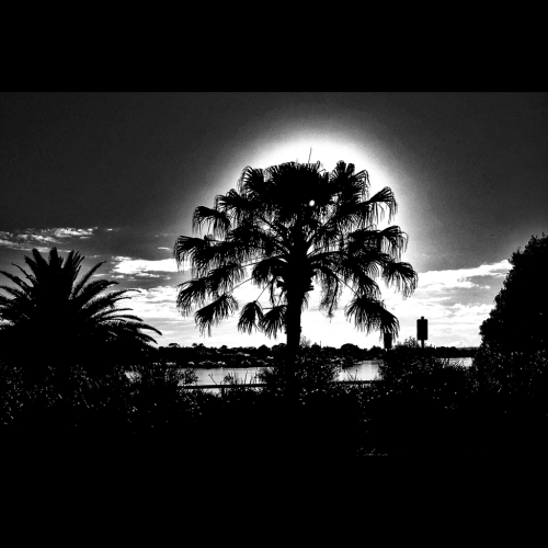 The special tree #palm #tree #halo #fotografiaunited #bepopular #bepop #fu #fu_oz #choedig #instagramaddict #photooftheday #rebelaww  #iphone4s #instagramhub #all_shots #iphoneonly #picoftheday #PrestigeClass #sydig #sydney #sydneycommunity #iphoneography #blackandwhite #commute