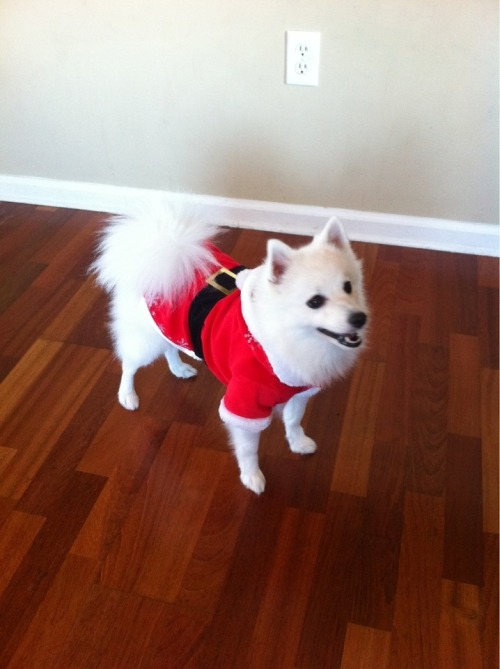Belledog is ready for SantaCon!