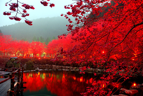Lighted Cherry Blossom Lake, Sakura, Japan photo via ananj