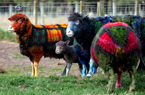 wallacegardens:  Organic tartan….trending fashion statement from Icelandic breeders?