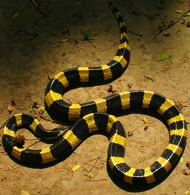 Ever heard of a kind of snake that when it bites you, releases a neurotoxin so potent that it basically digests your nerve endings? Welcome to the Krait. I thought this was fascinating when I was doing my research for my latest news story for SciDev.net, about a new kind of rapid diagnosis dipstick test to identify the venom from different snakes if you have been bitten - the test for krait venom is under development.  Another fascinating fact is that 60-90 per cent of snake bites (dependant on region) don't result in injection with venom. Not all snakes are venomous, of course, and even those that are can choose whether or not to release their venom - they might prefer to save their venom for a tasty morstel of mouse or rat.
