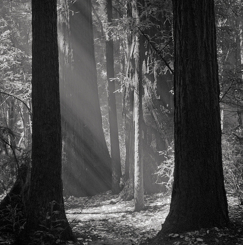 Wayne Bremser, redwoods, first thing in the morning, Big Basin, California, 2011