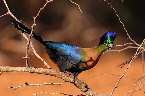 fairy-wren:  purple-crested turaco (by peet van schalkvyk)