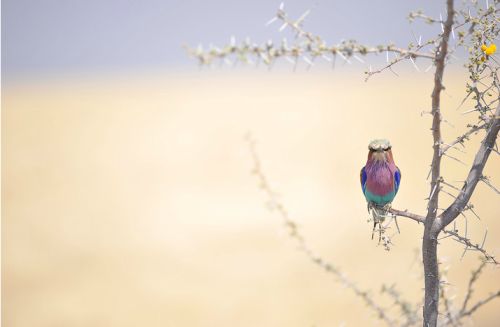 The lilac-breasted roller is colorful and famous in Namibia.  Photo by Vitor Costa
