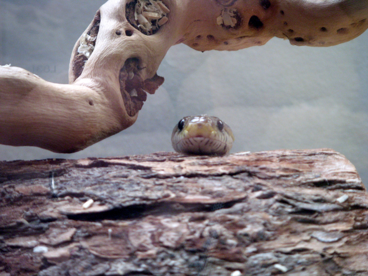 reptilesandexotics:  Rowan, the corn snake, chillin'. Submitted by  derosnec