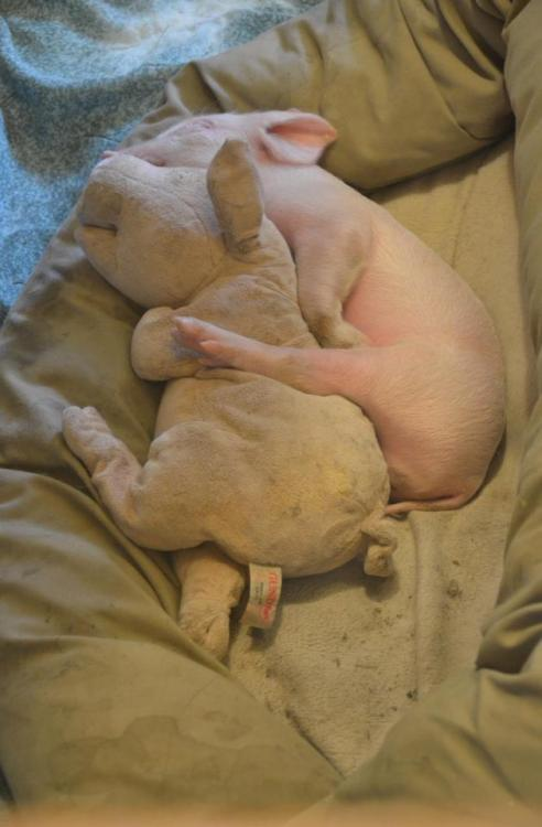 This is Farm Sanctuary's new rescued piglet, Eric. I can't. ERIC IS A PIG HUGGING ANOTHER PIG. I am giving Farm Sanctuary everything I have. This is why I'm vegan. This pig is so spiritually rich, I love him so much. I can't even form sentences right now.