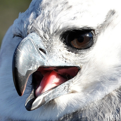 fairy-wren:  harpy eagle (by ysaleth)