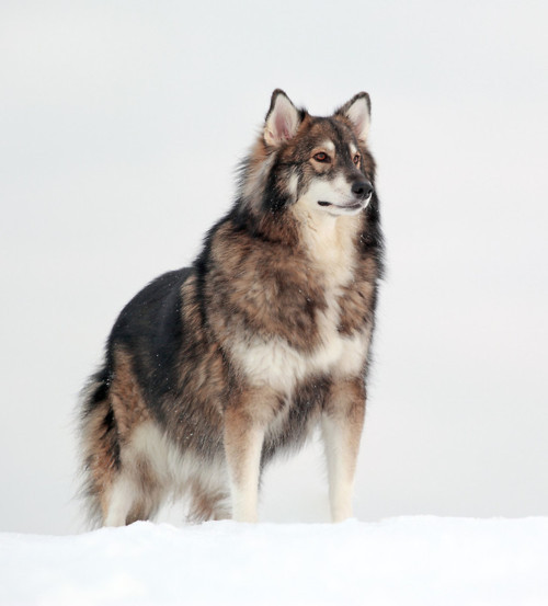 itsmikeyybitch:   The Utonagan is a breed of dog that resembles a wolf, but in fact is a mix of three breeds of domestic dog: Alaskan Malamute, German Shepherd, and Siberian Husky.  I dont get it so they had threesome?
