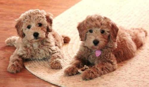 Puppies Goldendoodles
