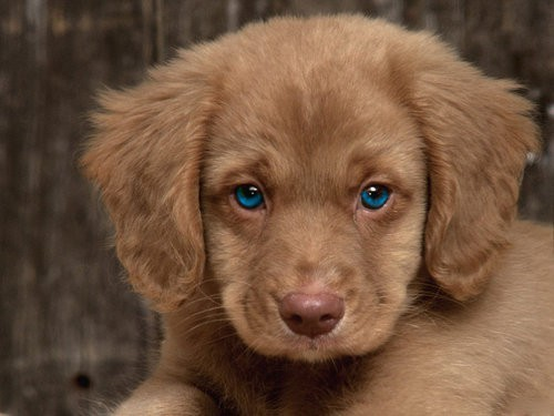 Puppies Cavalier cross golden retriever