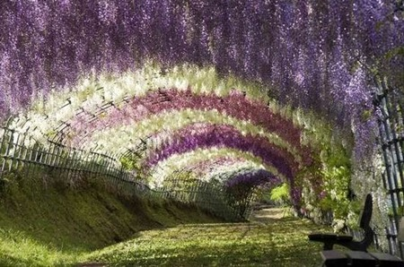thesunflowerfairy:  thesunflowerfairy  Wisteria Tunnel in Kawachi Fuji Gardens, Japan :)